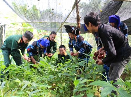 Cán bộ, nhân viên Đội SX và xây dựng cơ sở chính trị số 3 cùng nhân dân bản Lao Chải 1, xã Y Tý thu hoạch thảo quả.