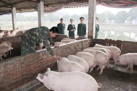 Tết này sẽ có hơn 40 con trong đàn lợn được nuôi bằng cám và rau thường đủ nhu cầu lợn sạch cho bộ đội. (Ảnh: ĐỨC ĐÀO)