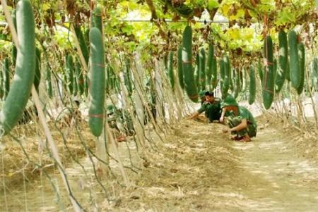 Khu vực trồng bí xanh của Trung đoàn 148, Sư đoàn 316