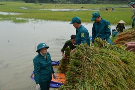 Cán bộ, chiến sĩ Ban CHQS huyện Sông Lô tích cực giúp dân thu hoạch lúa.